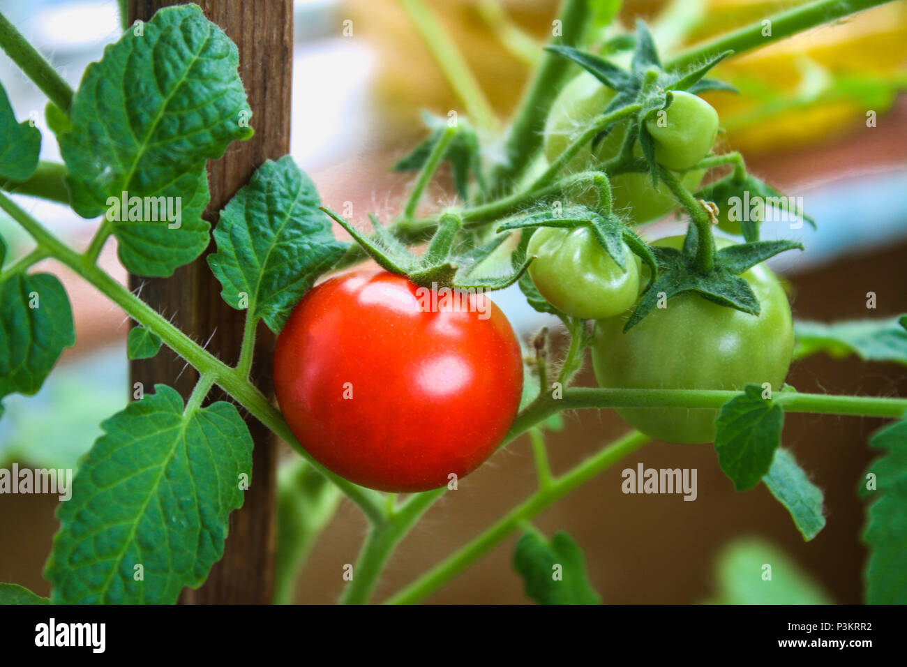 Tomato Wuppertal Farming Balcony Stock Photos Farming Balcony Stock Images Alamy