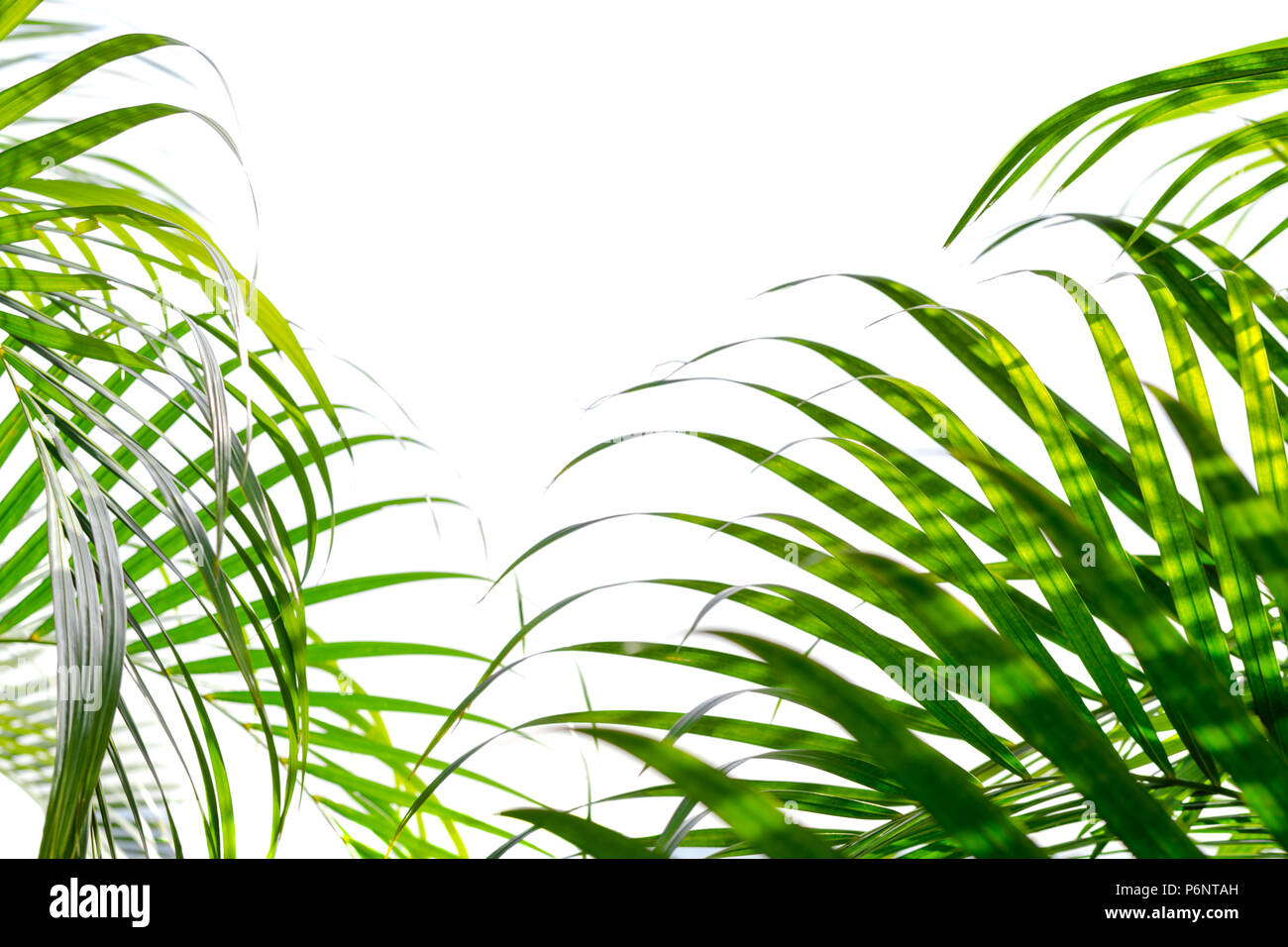 Chrysalidocarpus Space For Life Bushes Of Green Palm Leaves Isolated On White Background Tropical