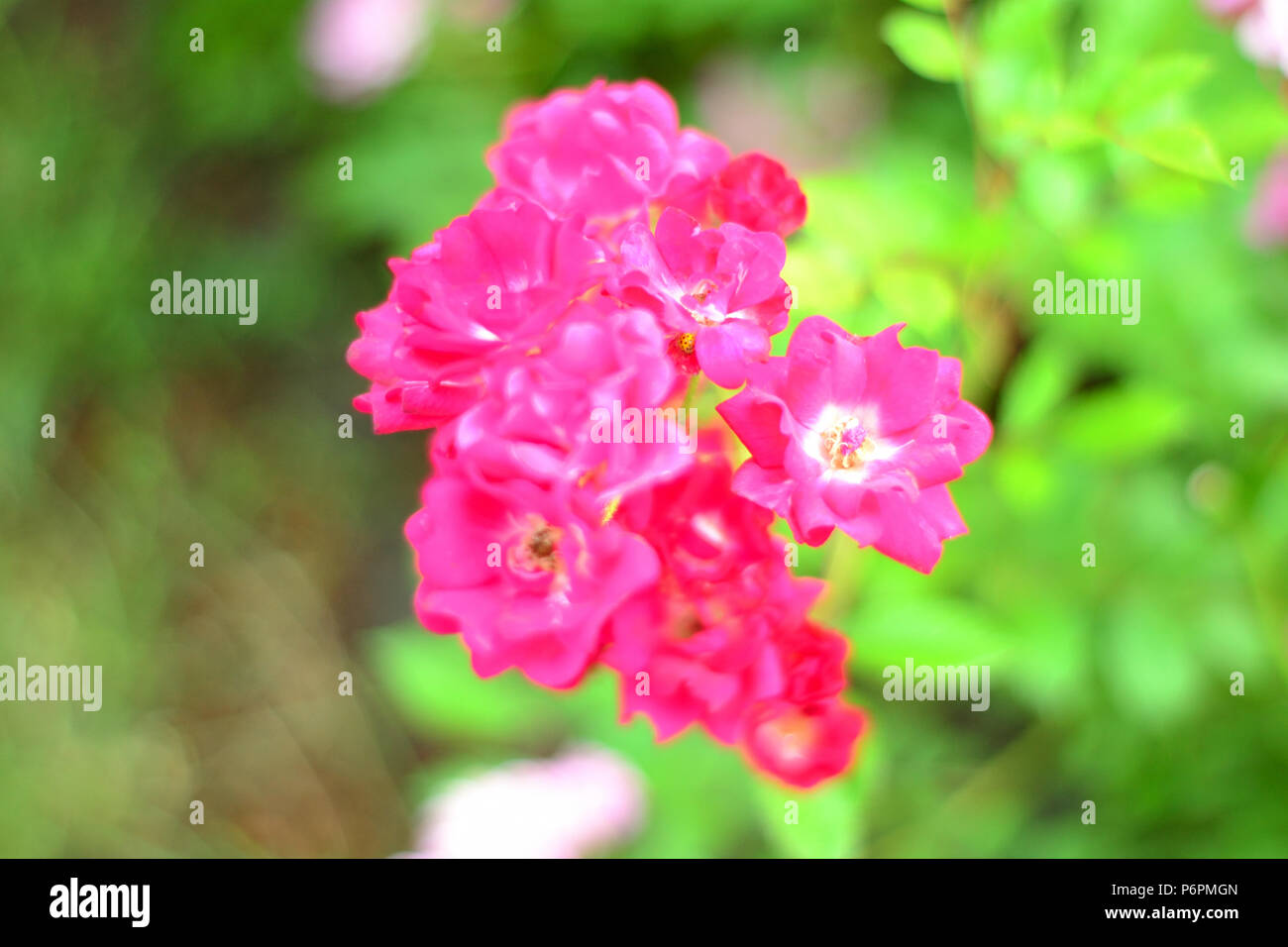 Lantana Kopen Knop Stock Photos Knop Stock Images Page 2 Alamy