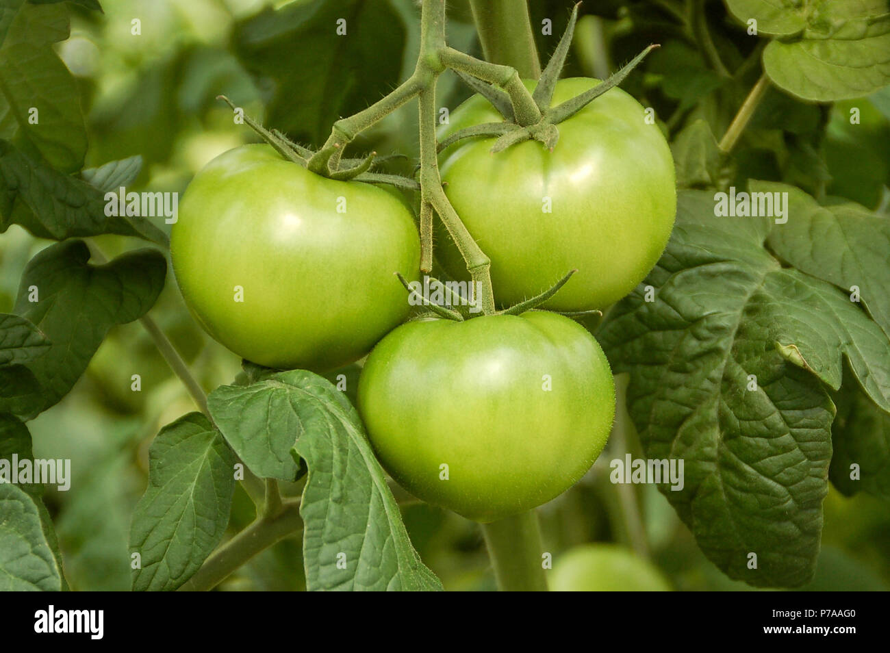 Tomato Wuppertal Agrarian Research Stock Photos Agrarian Research Stock Images