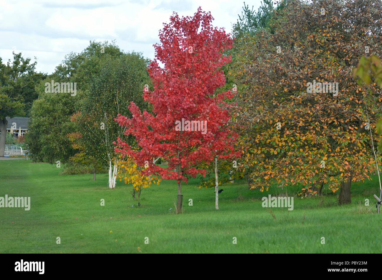 Ahorn October Glory Acer Rubrum October Glory Stock Photos Acer Rubrum October