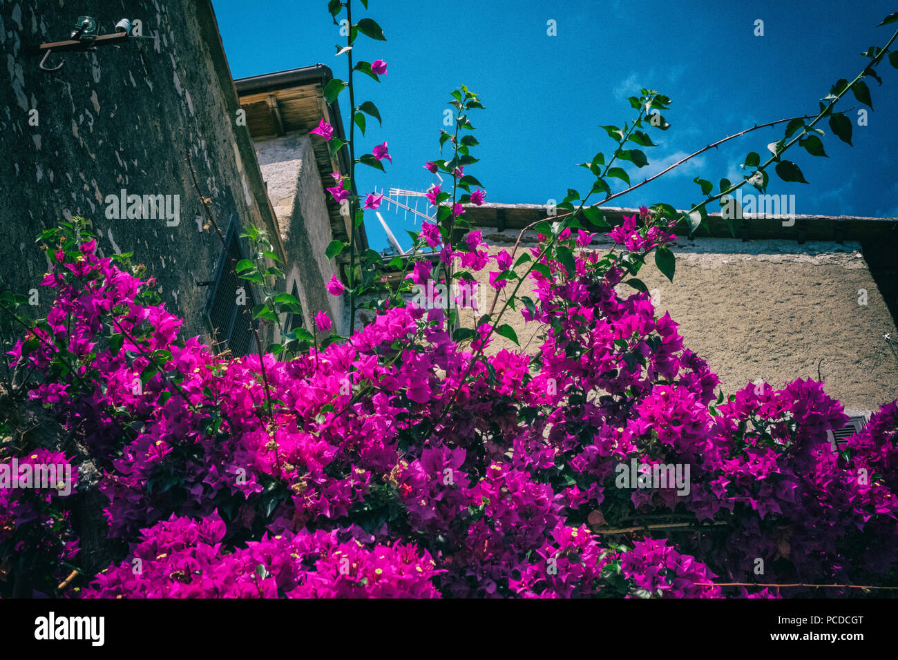 Bougainvillea Wallpaper Beautiful Bougainvillea Flower With Stone Walls Of Houses Of A