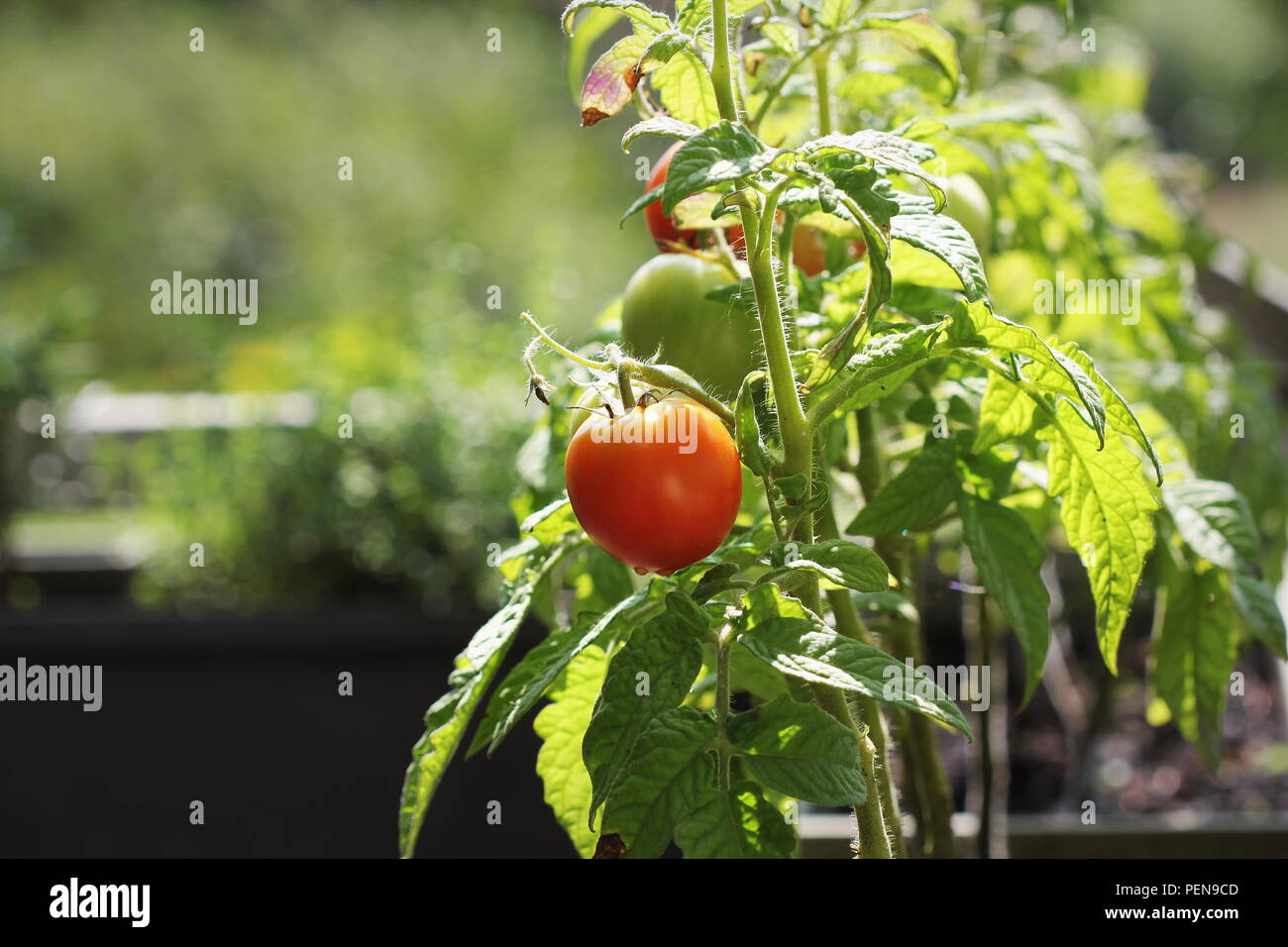 Tomato Wuppertal Urban Gardening Balcony Stock Photos Urban Gardening Balcony