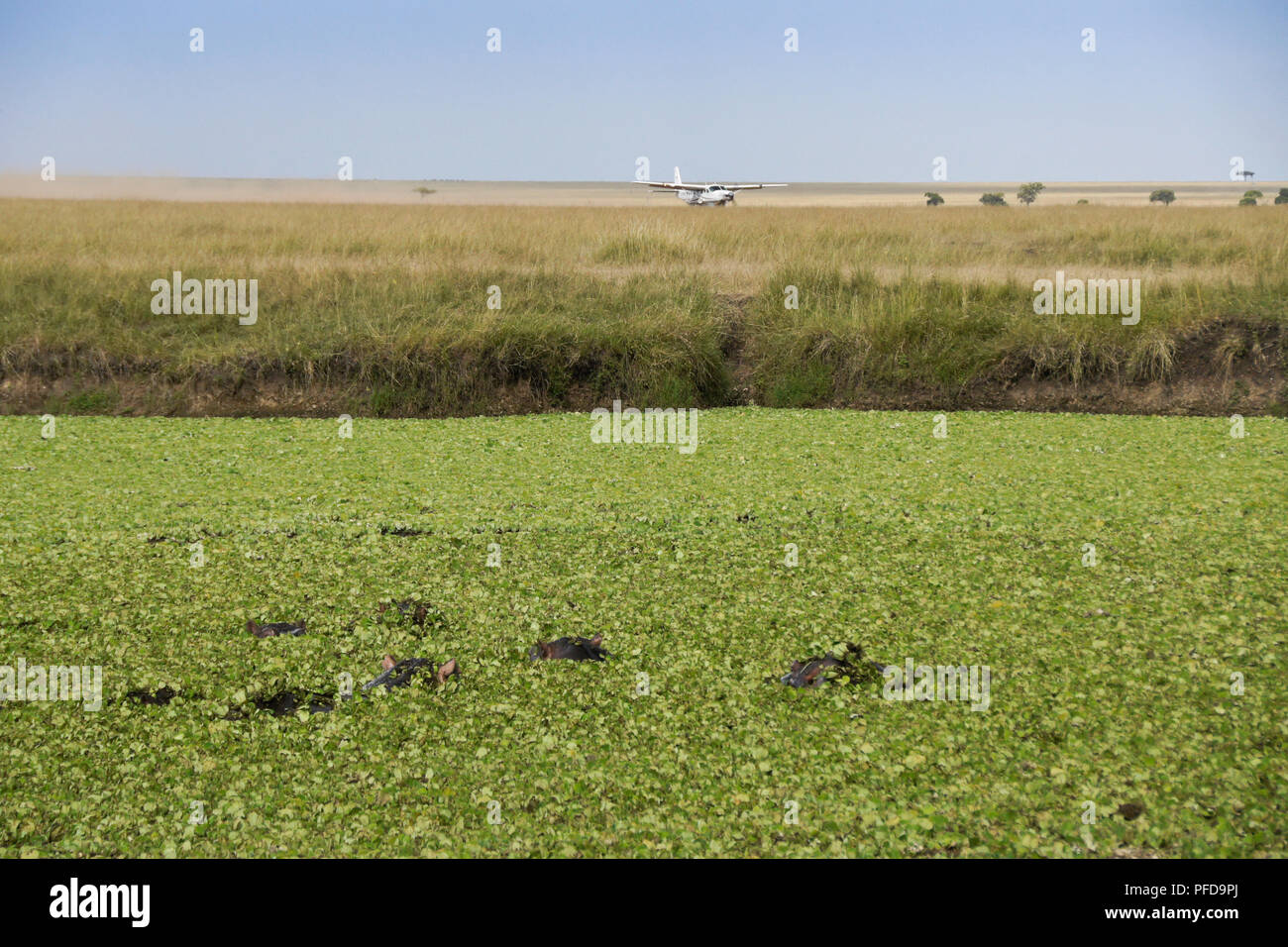 Pool Abdeckplane Löst Sich Auf Hippos Wallow In Pool Covered With Water Hyacinth While A Plane