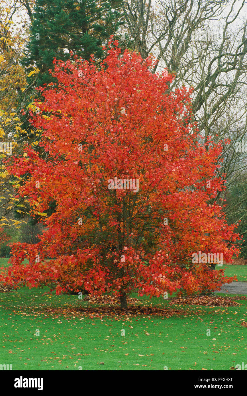 Ahorn October Glory Acer Rubrum October Glory Stock Photos Acer Rubrum