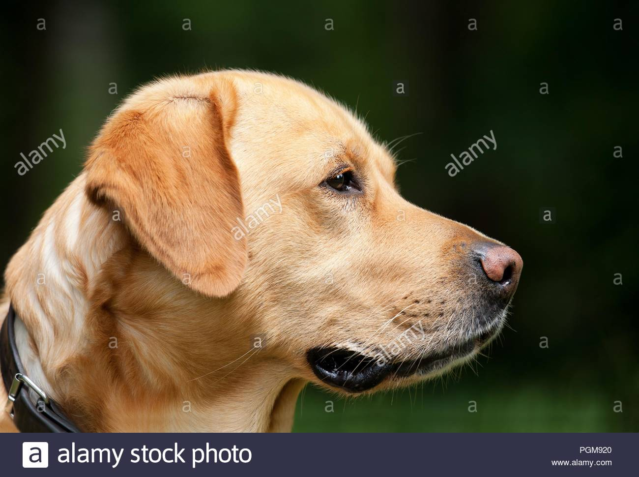 Bettwäsche Dog Side My Side Labrador Light Brown Dog Pet Animal Face Profile Side