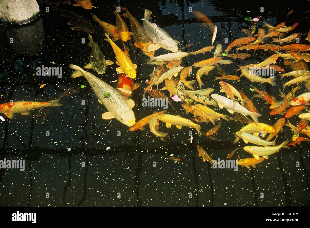 Koi Garten Koi Karpfen Stock Photos And Koi Karpfen Stock Images Alamy