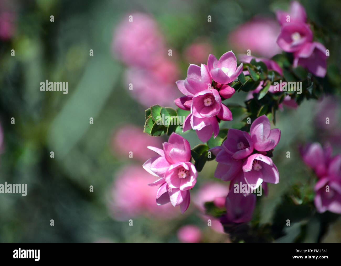 Pink Flowers Australia Deep Pink Flowers Of The Australian Native Rose Boronia Serrulata