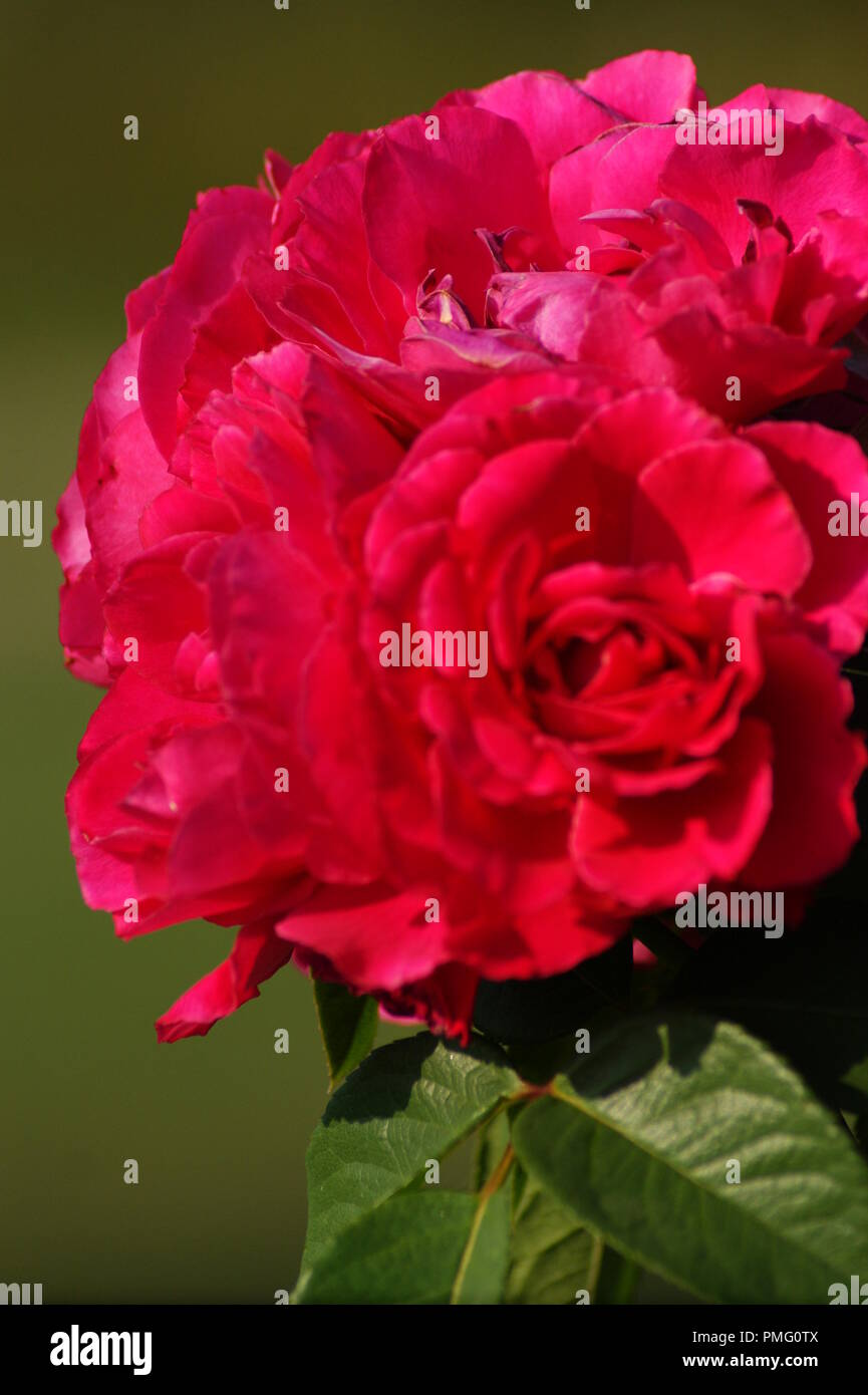 Image De Rose Rose Rouge Stock Photos Rose Rouge Stock Images Alamy
