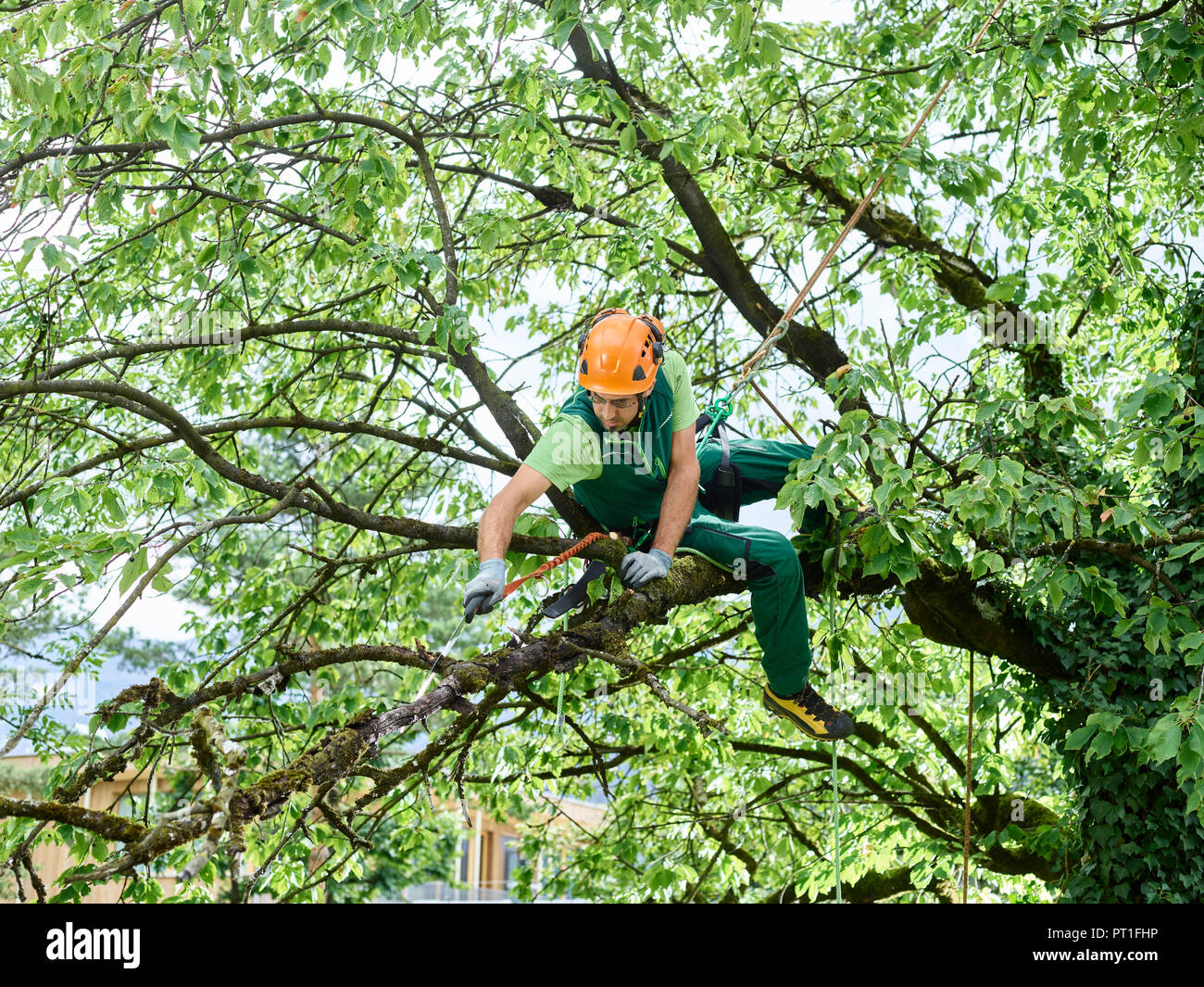 Tree Cutter Tree Cutter Pruning Of Tree Stock Photo 221310370 Alamy