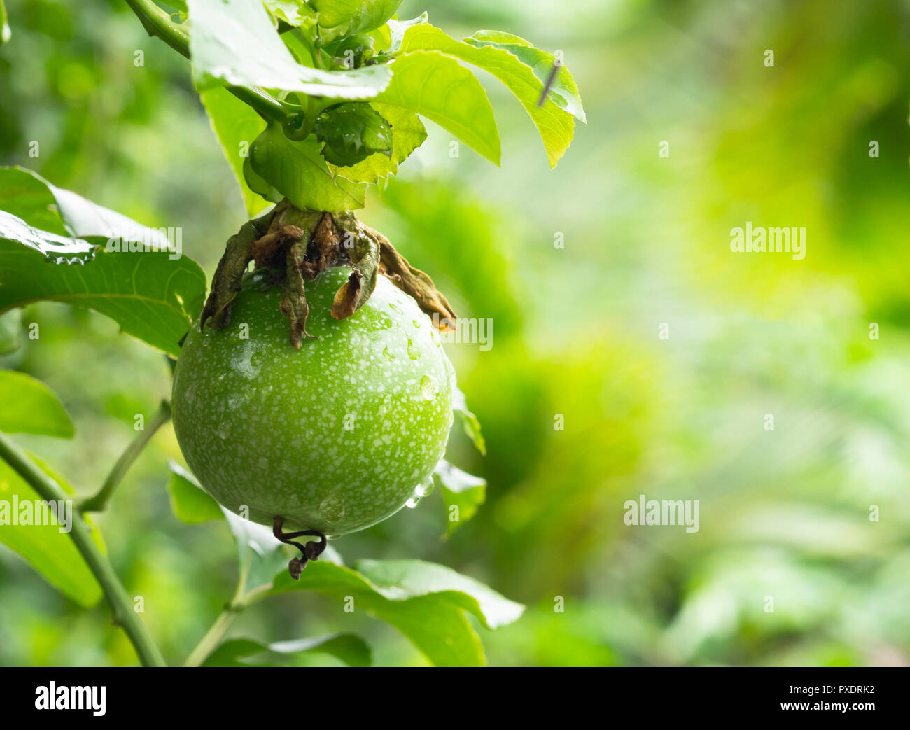 Passiflora Edulis Passionfruit Plant Stock Photos And Passionfruit Plant Stock