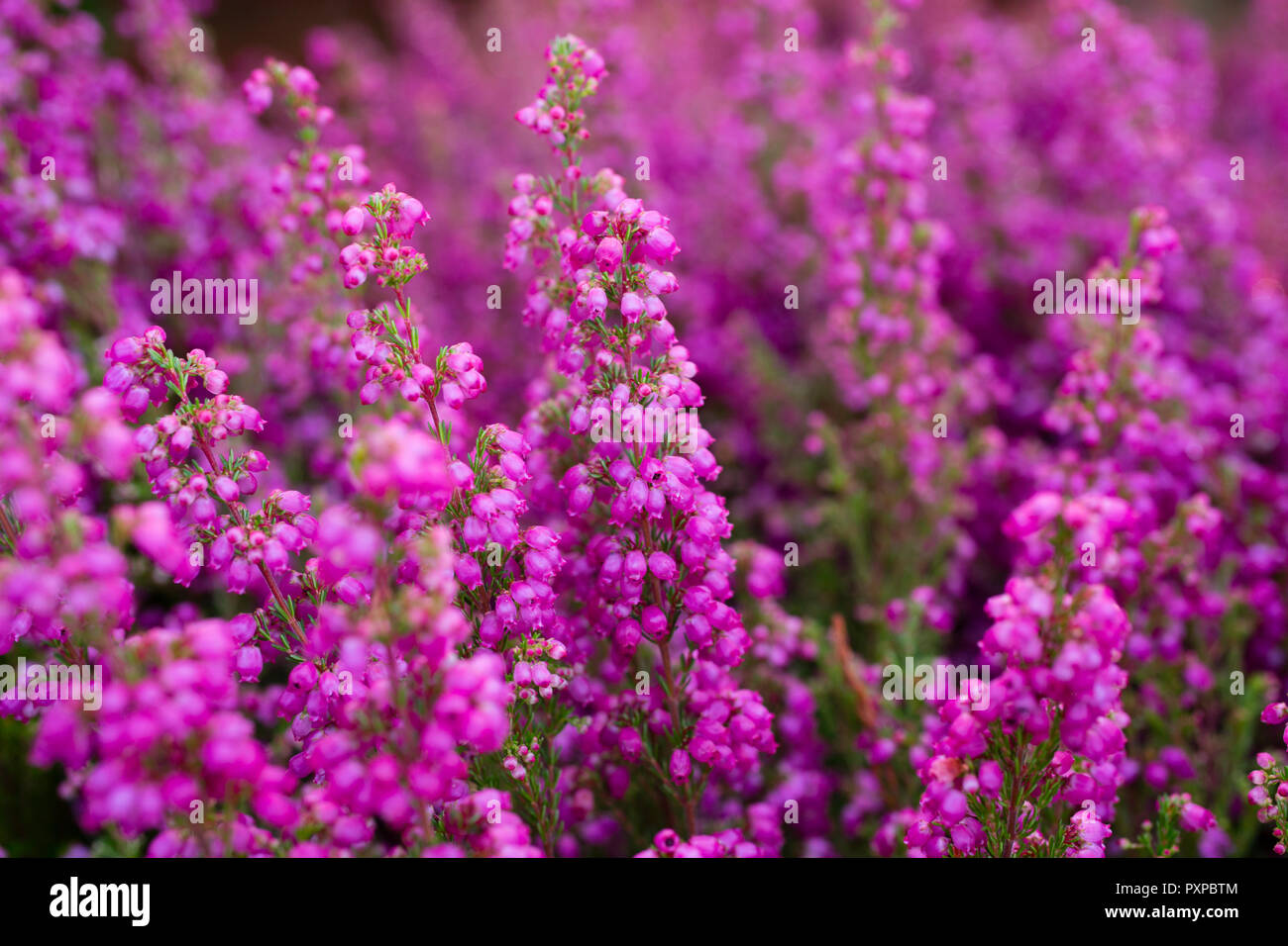 Erica Gracilis Erica Gracilis Stock Photo 222997732 Alamy