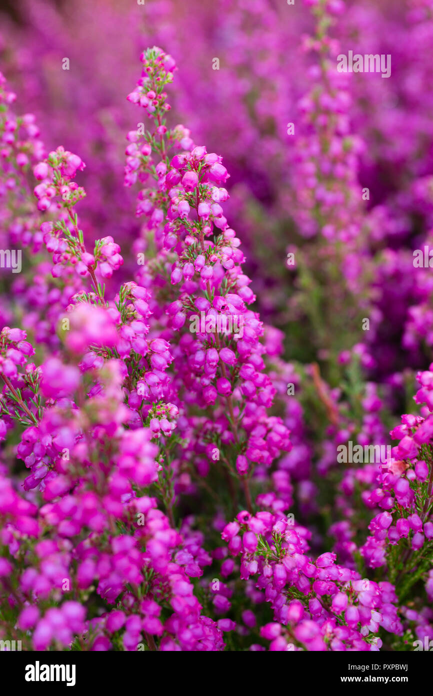 Erica Gracilis Erica Gracilis Stock Photo 222997758 Alamy