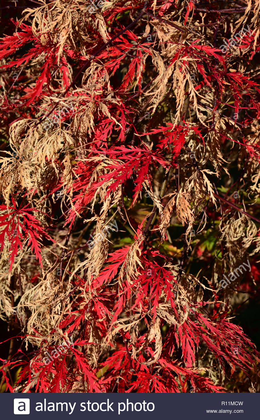 Japanischer Ahorn Wallpaper Closeup Of A Tree Called Japanese Fan Maple In Autumn Red And