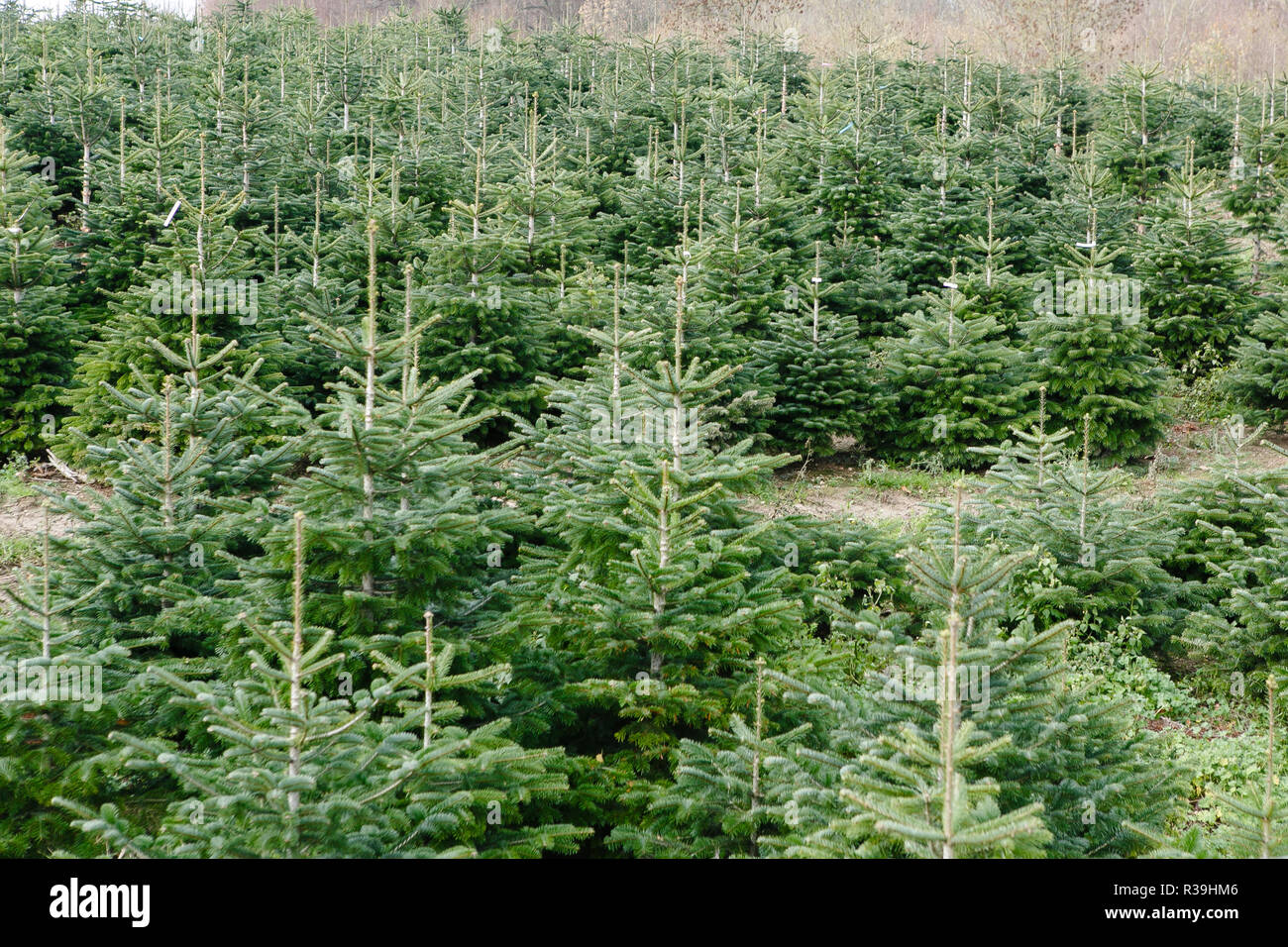 Christmas Tree Stand For Sale Damp Germany 21st Nov 2018 Christmas Trees Planted For Sale