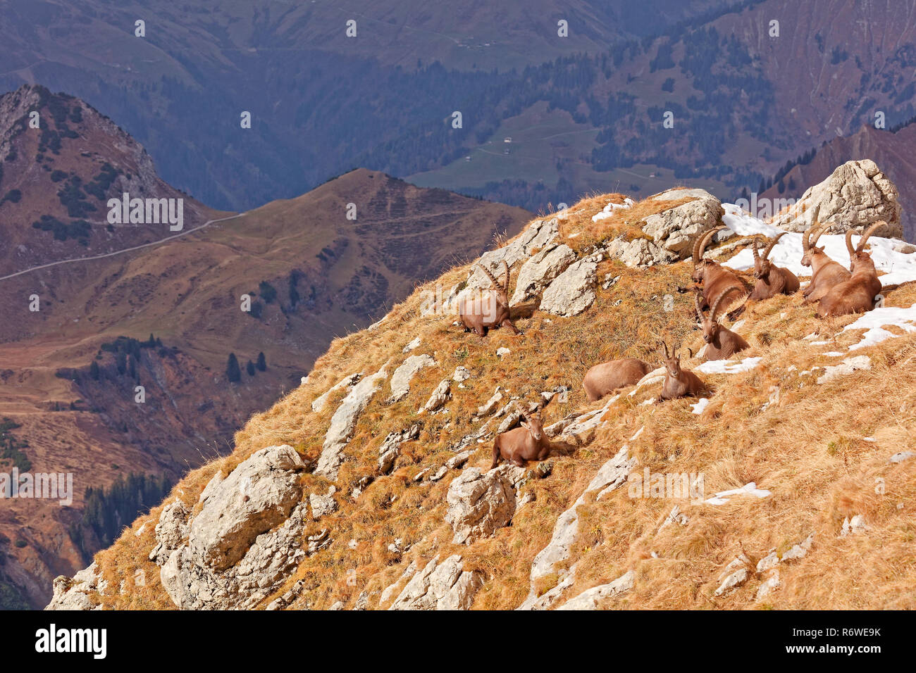 Rote Wand Wild Mountain Goats Capra Ibex In Lechquellengebirge Mountains