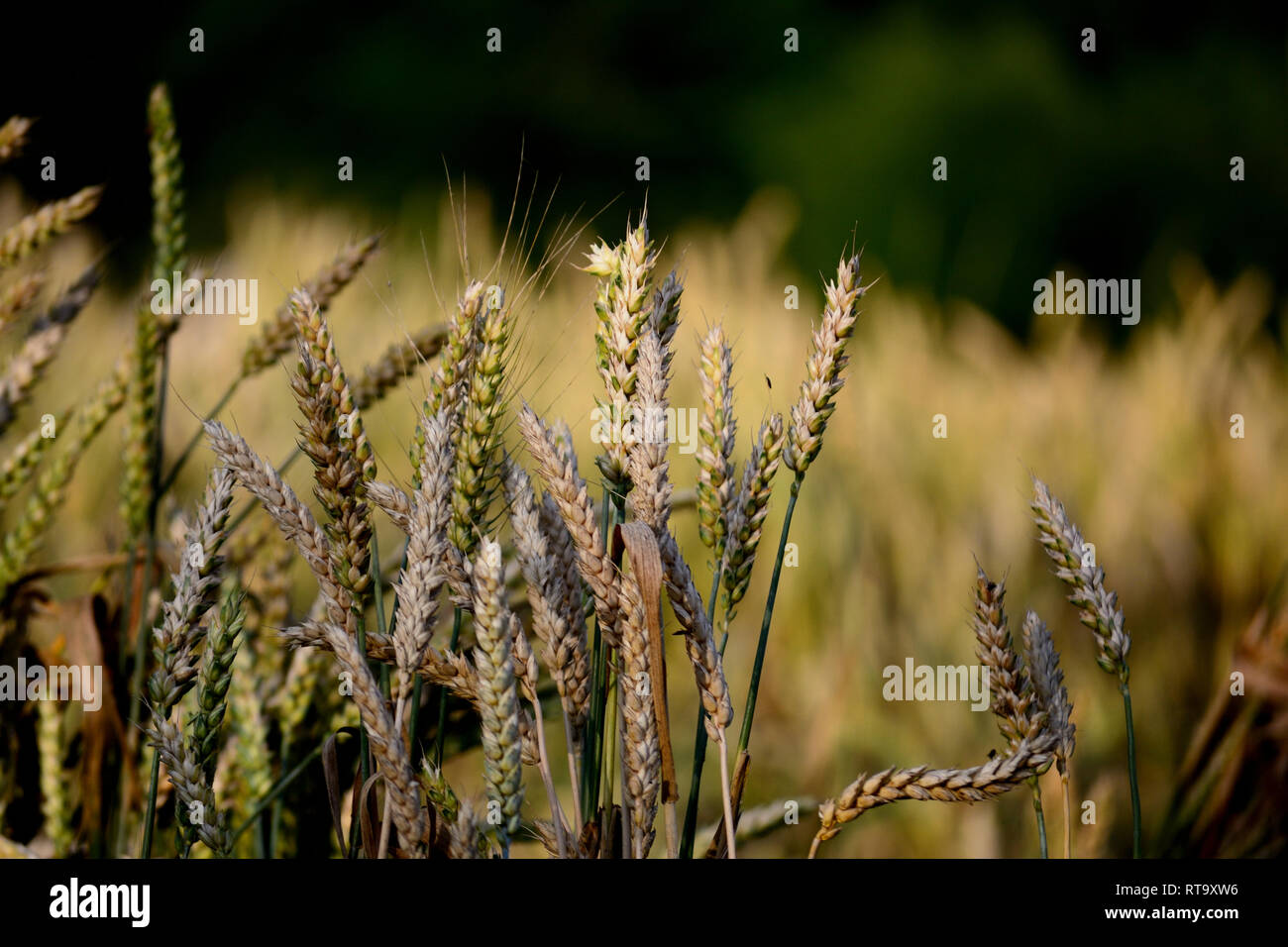 30 Liter Emmer Emmer Stock Photos Emmer Stock Images Alamy