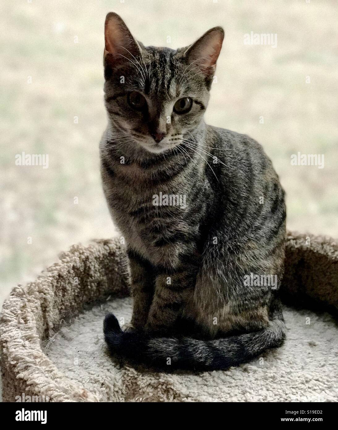 Beautiful One Beautiful One Year Old Domestic Or American Shorthair Tabby Cat