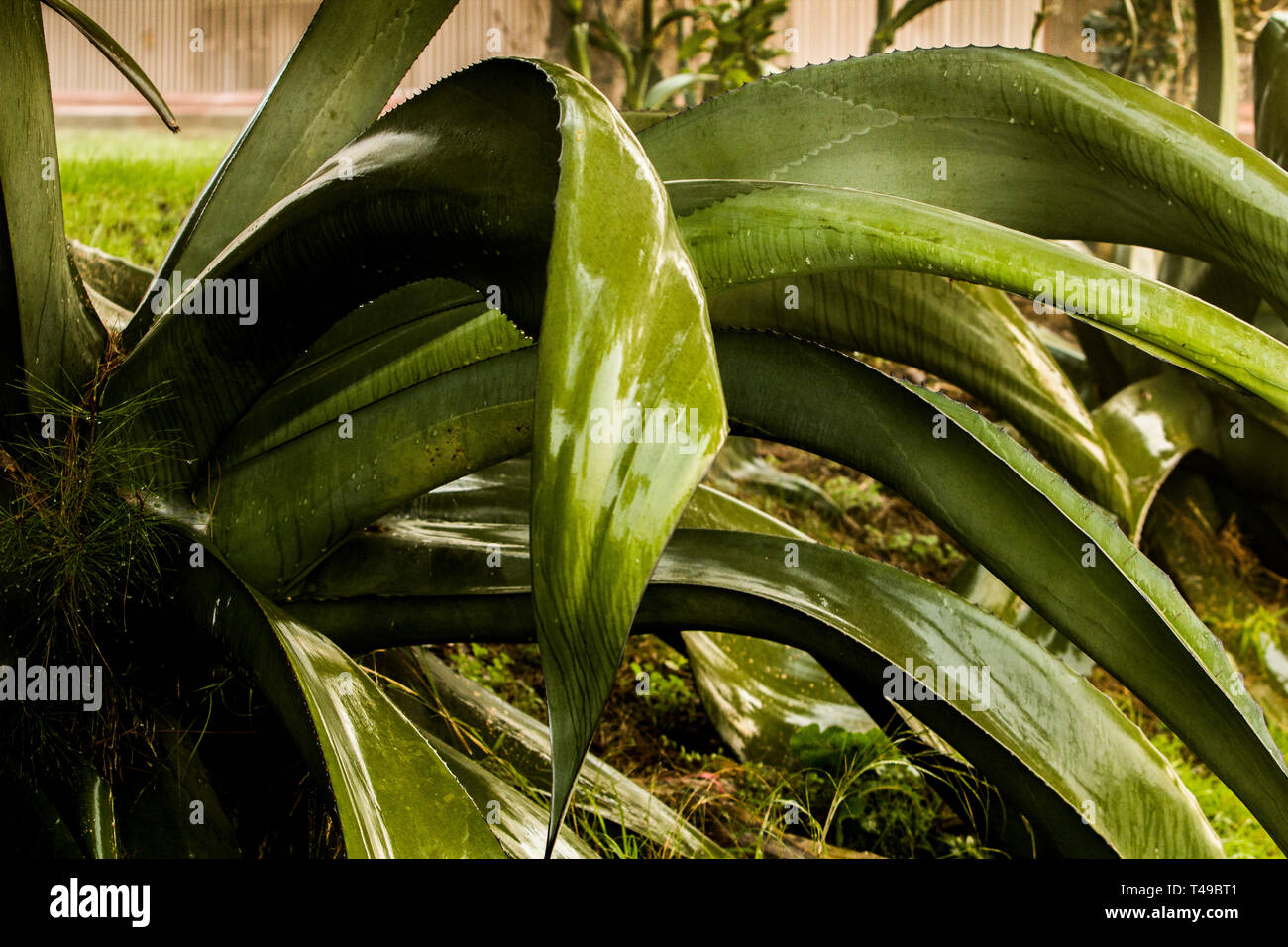 Aloe Vera Kaktus Aloe Vera And Cactus Stock Photos Aloe Vera And Cactus Stock