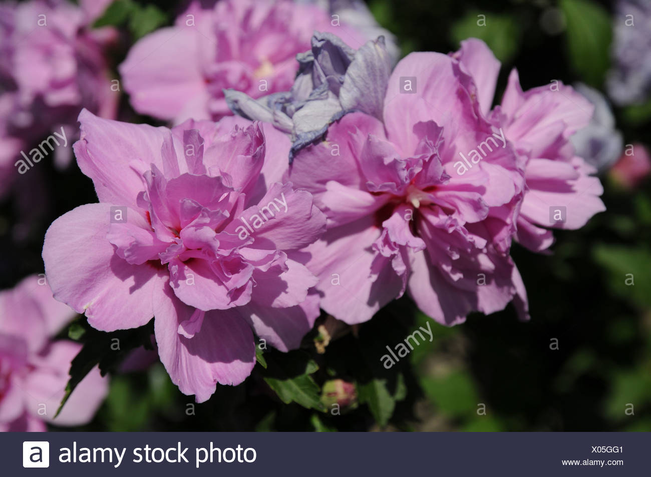 Strauch Sommerblüher Shrub Mallow Stock Photo 275488641 Alamy