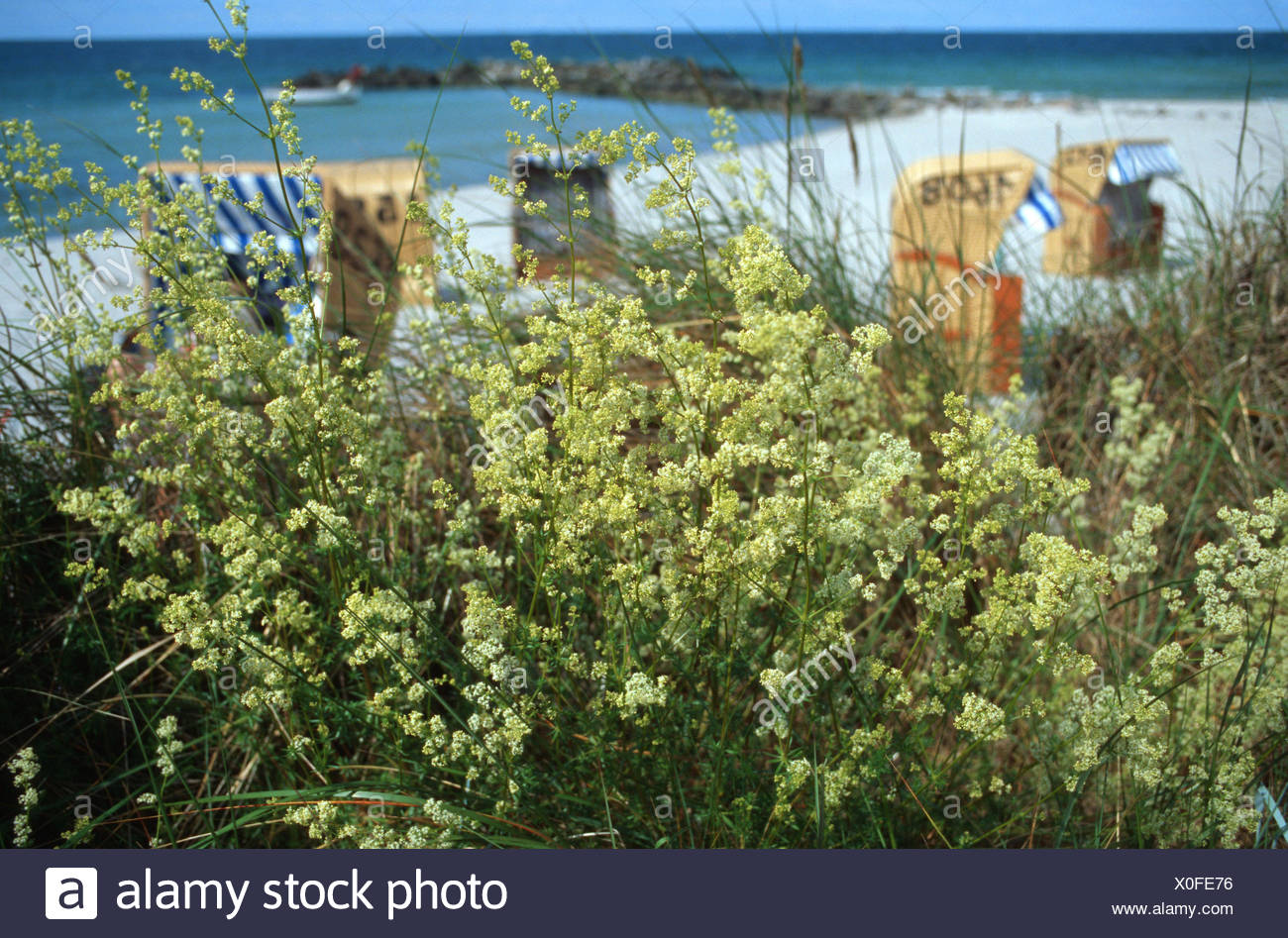 Wiegand Sylt Northern Bedstraw High Resolution Stock Photography And Images - Alamy