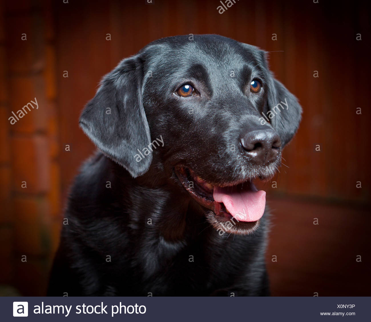 Black Lab Dog Male Black Labrador Retriever Stock Photos And Black Labrador