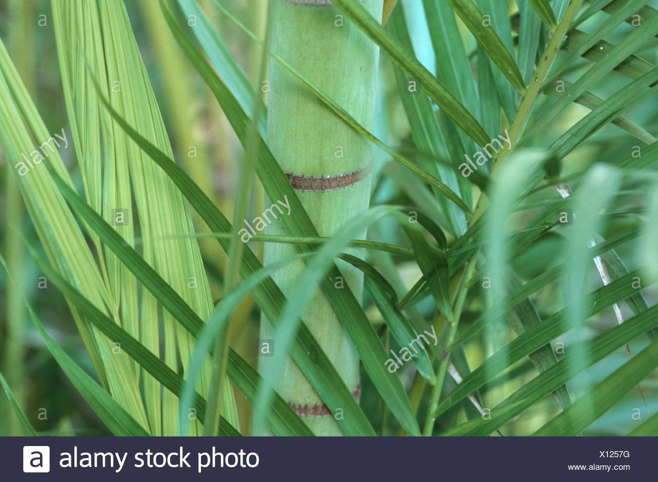 Yellow Palm Areca Palm Chrysalidocarpus Lutescens Areca Lutescens Stock Photos And Areca Lutescens Stock