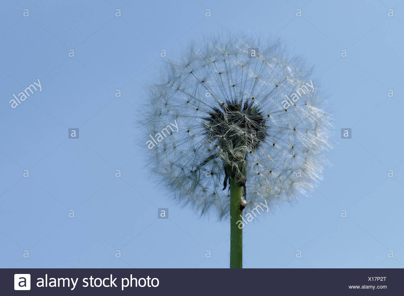 Bild Pusteblume Pusteblume With Fly Stock Photo 276151536 Alamy