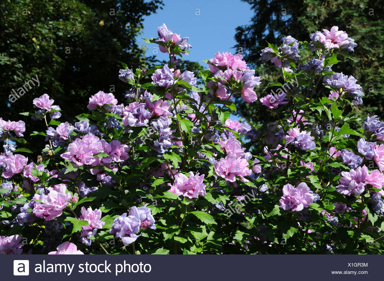 Strauch Sommerblüher Shrub Althea Stock Photo 276349912 Alamy