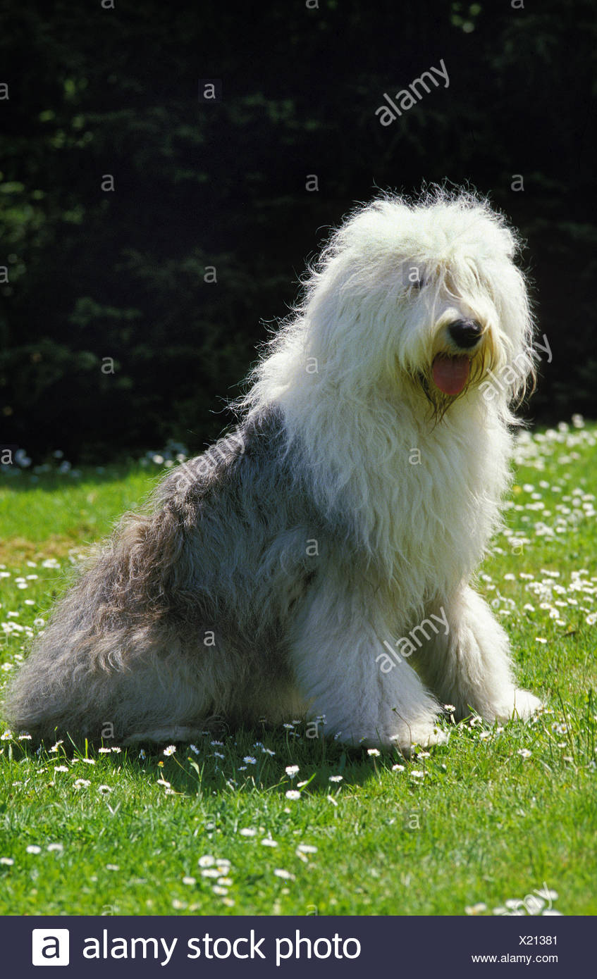 Are Old English Bobtail Dog Or Old English Sheepdog Sitting On Grass Stock Photo