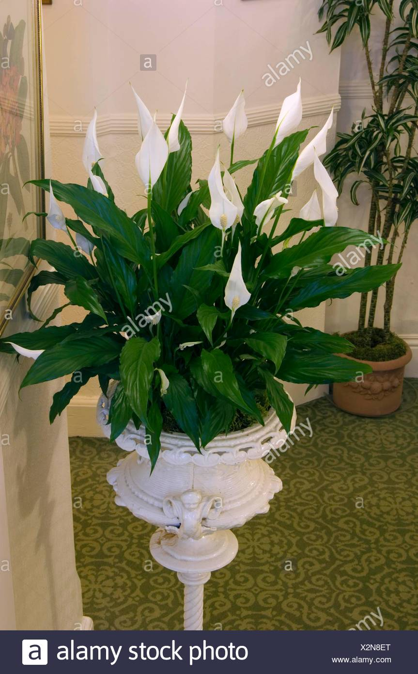 Spathiphyllum Wallisii Spathiphyllum Wallisii Hybrid Peace Lily Miw253441 Stock