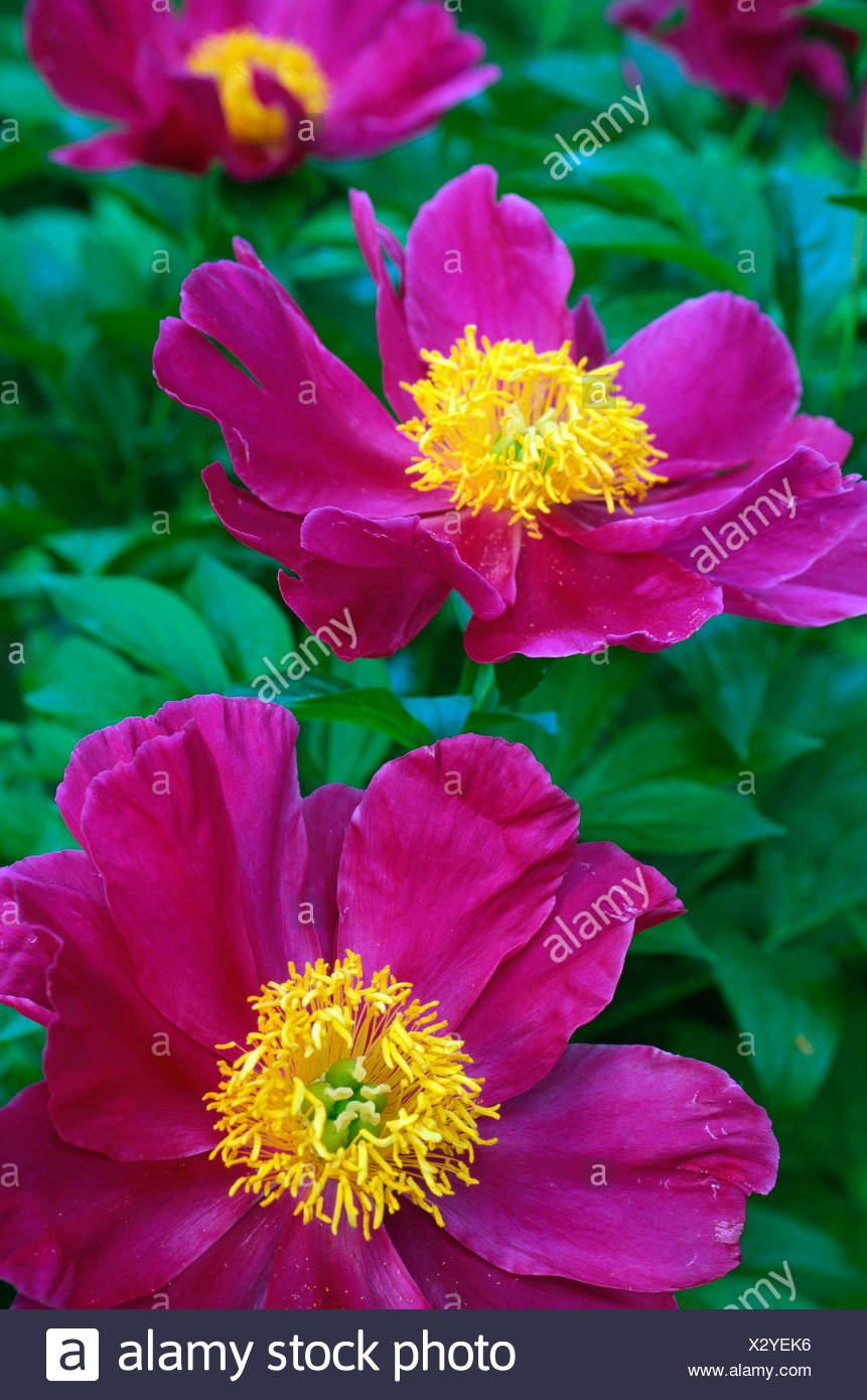 Pianese Flowers Pianese Flowers Stock Photo 277199418 Alamy