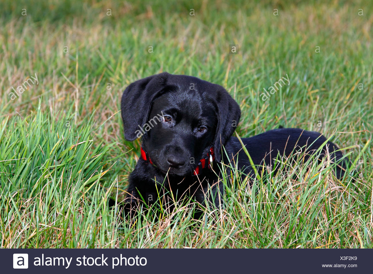 Black Lab Dog Male Cute Black Labrador Retriever Puppy Stock Photos And Cute