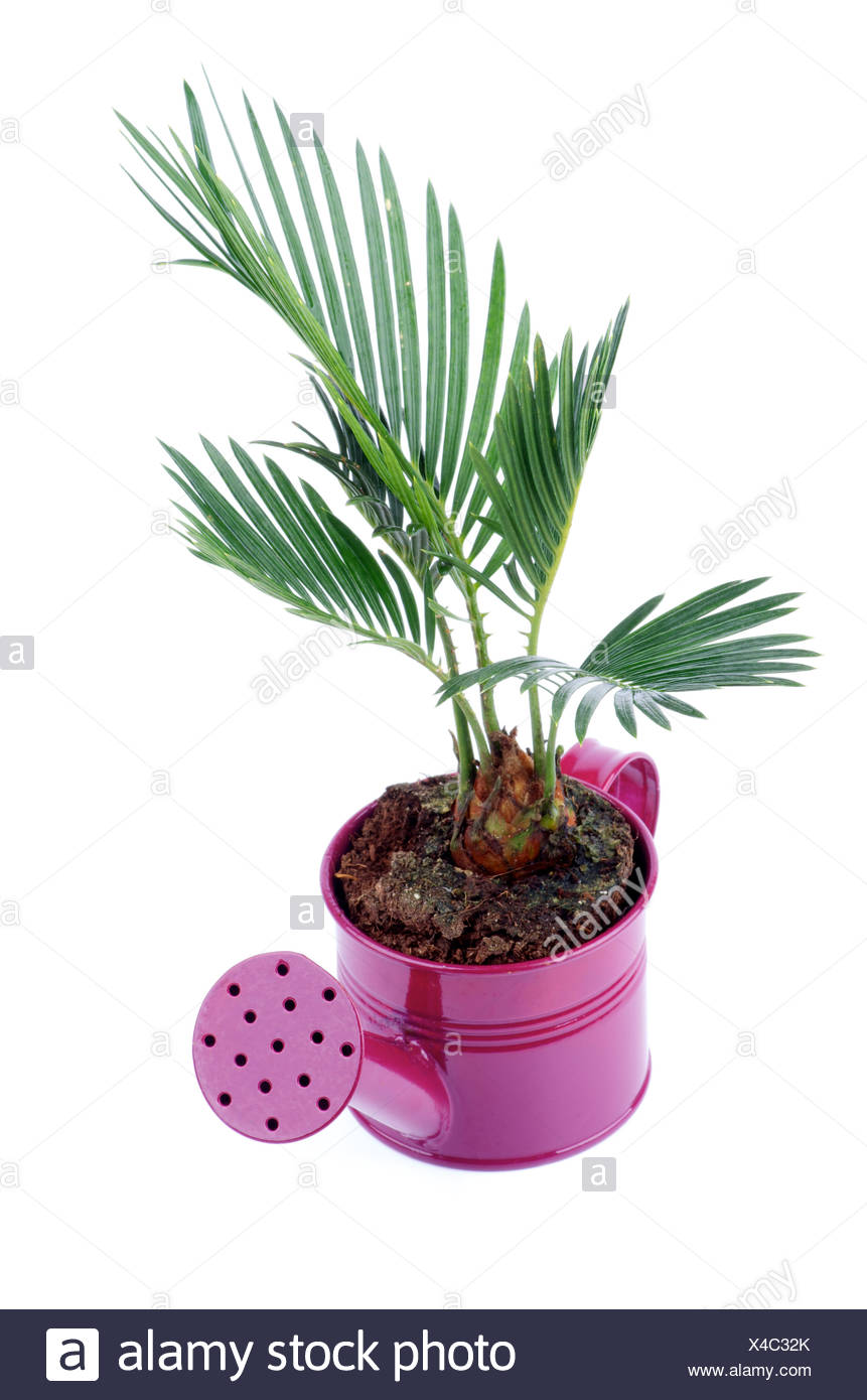 Chrysalidocarpus Space For Life Areca Palm Tree Cut Out Stock Images Pictures Alamy
