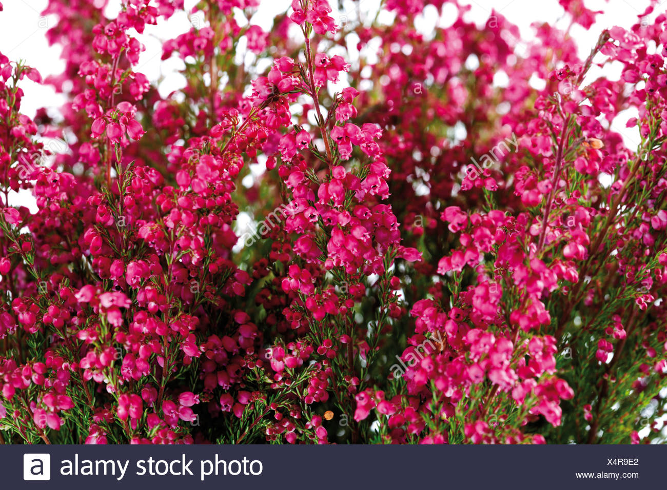 Erica Gracilis Bell Heather Erica Gracilis Stock Photo 278336858 Alamy