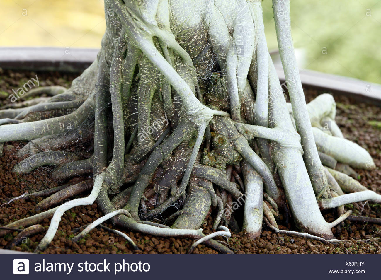 Ginseng Baum Ficus Microcarpa Stock Photos And Ficus Microcarpa Stock