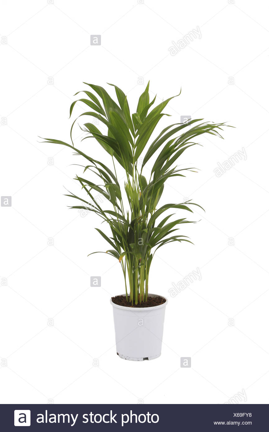 Chrysalidocarpus Space For Life Areca Palm Cut Out Stock Images Pictures Alamy