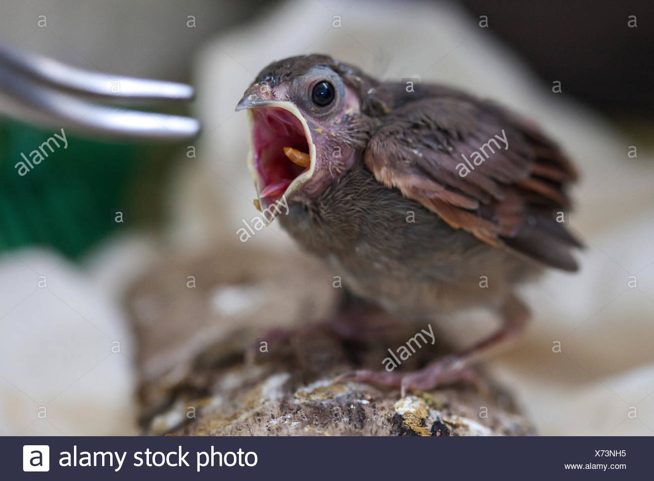 Baby Cod Baby Bird At Wild Care Cape Cod Stock Photo 279751281 Alamy
