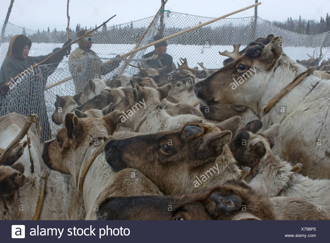 Animal Crush Komi Reindeer Herders Hold Up Temporary Pen Against Crush Of