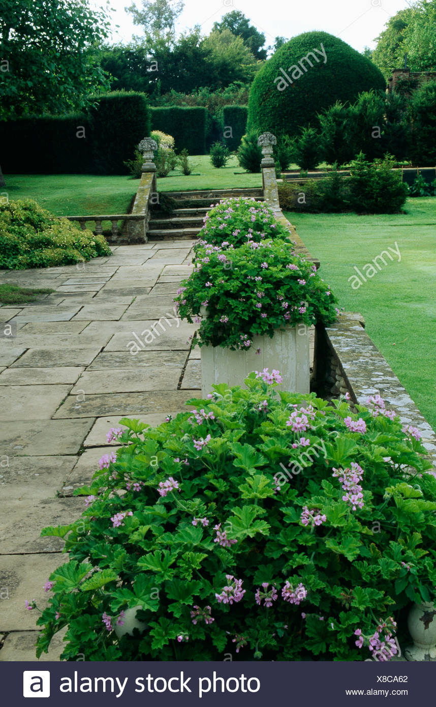 Large Garden Pots Pots Of Geraniums Beside Stone Paving In Large Garden Stock Photo