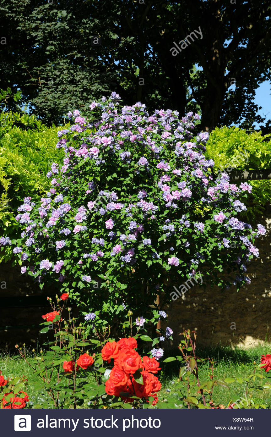 Strauch Sommerblüher Shrub Althea Stock Photo 280835991 Alamy