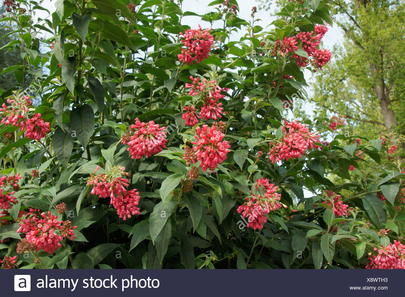 Strauch Sommerblüher Cestrum Elegans Hammerstrauch Stock Photo 280851231 Alamy