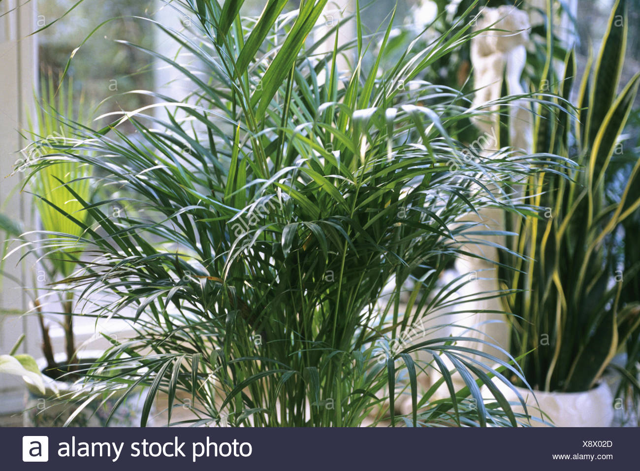 Yellow Palm Areca Palm Chrysalidocarpus Lutescens Chrysalidocarpus Lutescens Stock Photos And Chrysalidocarpus