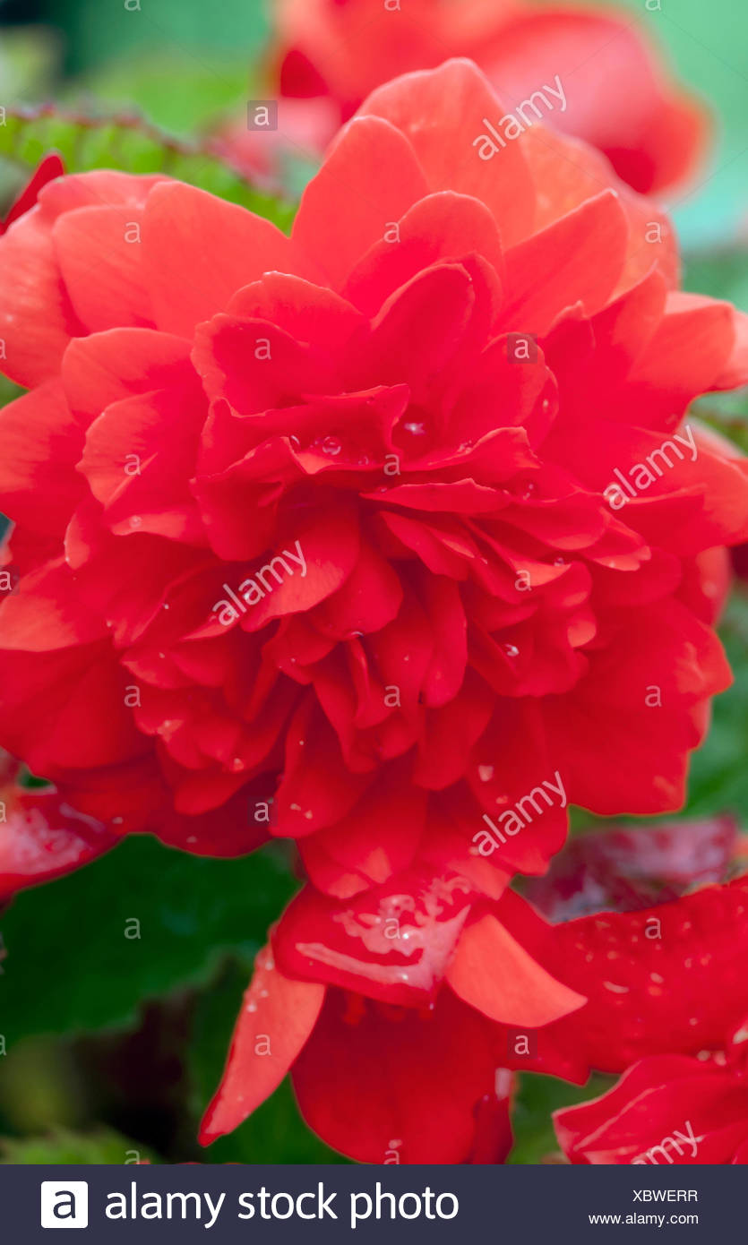 Begonia Waterfall Kopen Begonia Waterfall Good Pink Coloured Begonia Waterfall Flowerhead