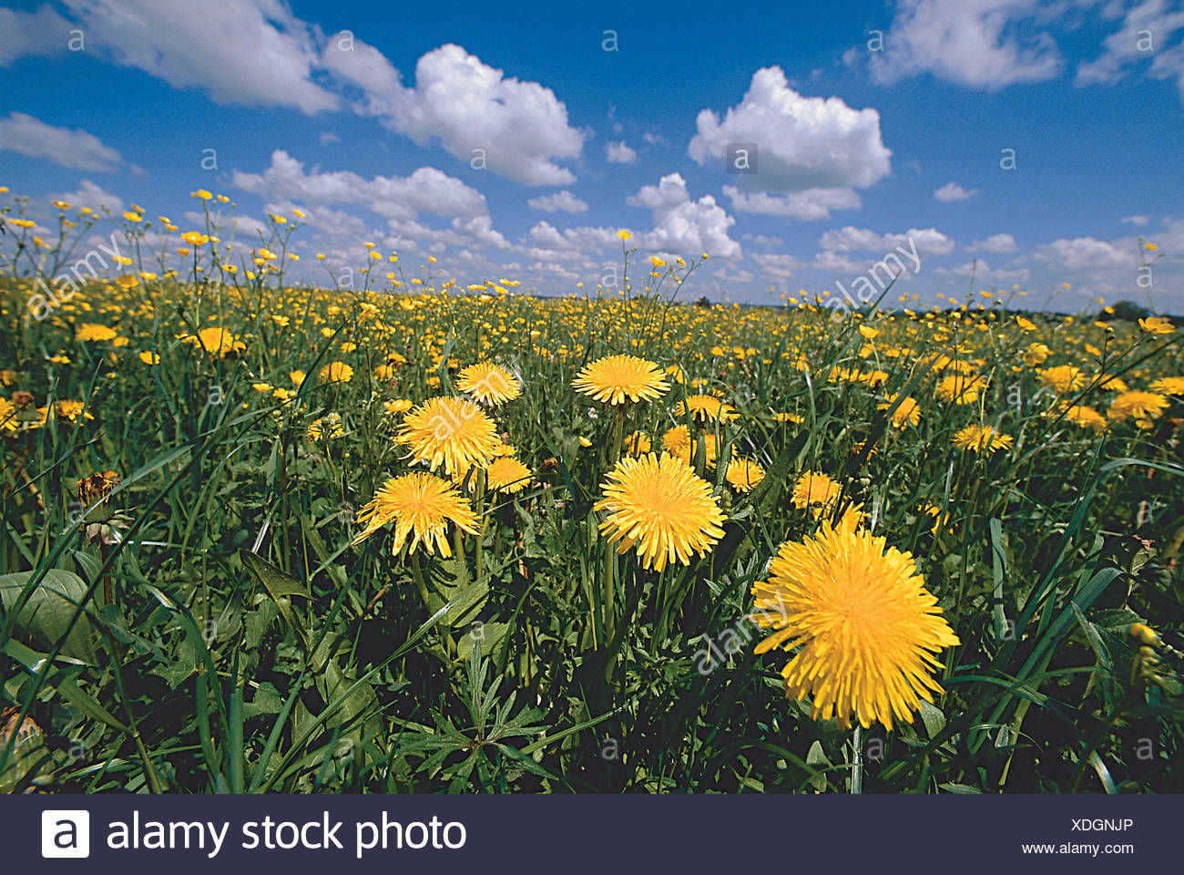 Blumenwiese Loewenzahn Stock Photo Alamy