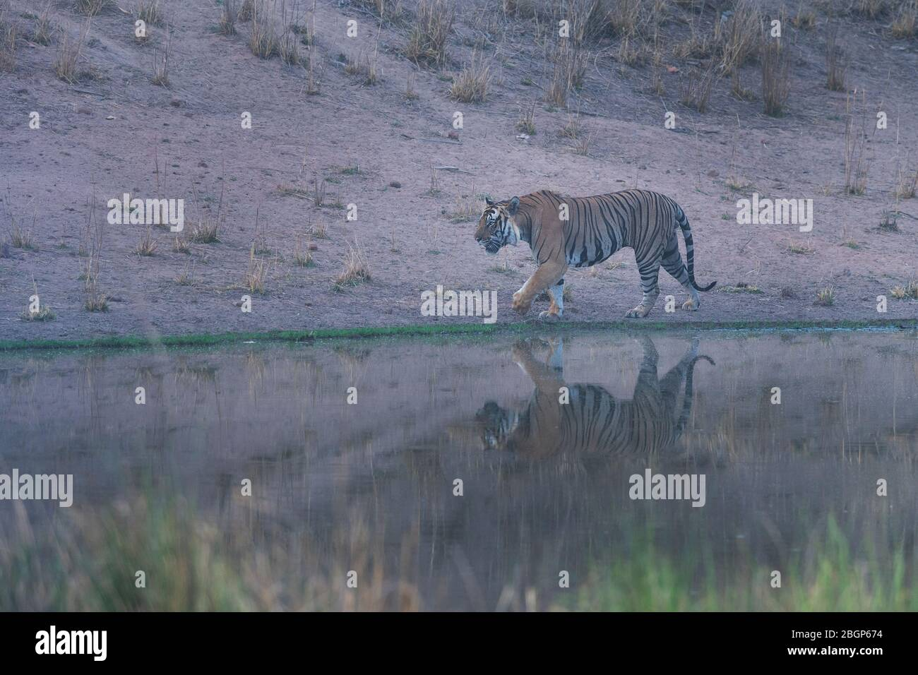 Tiger Roaming Stockfotos Und Bilder Kaufen Alamy