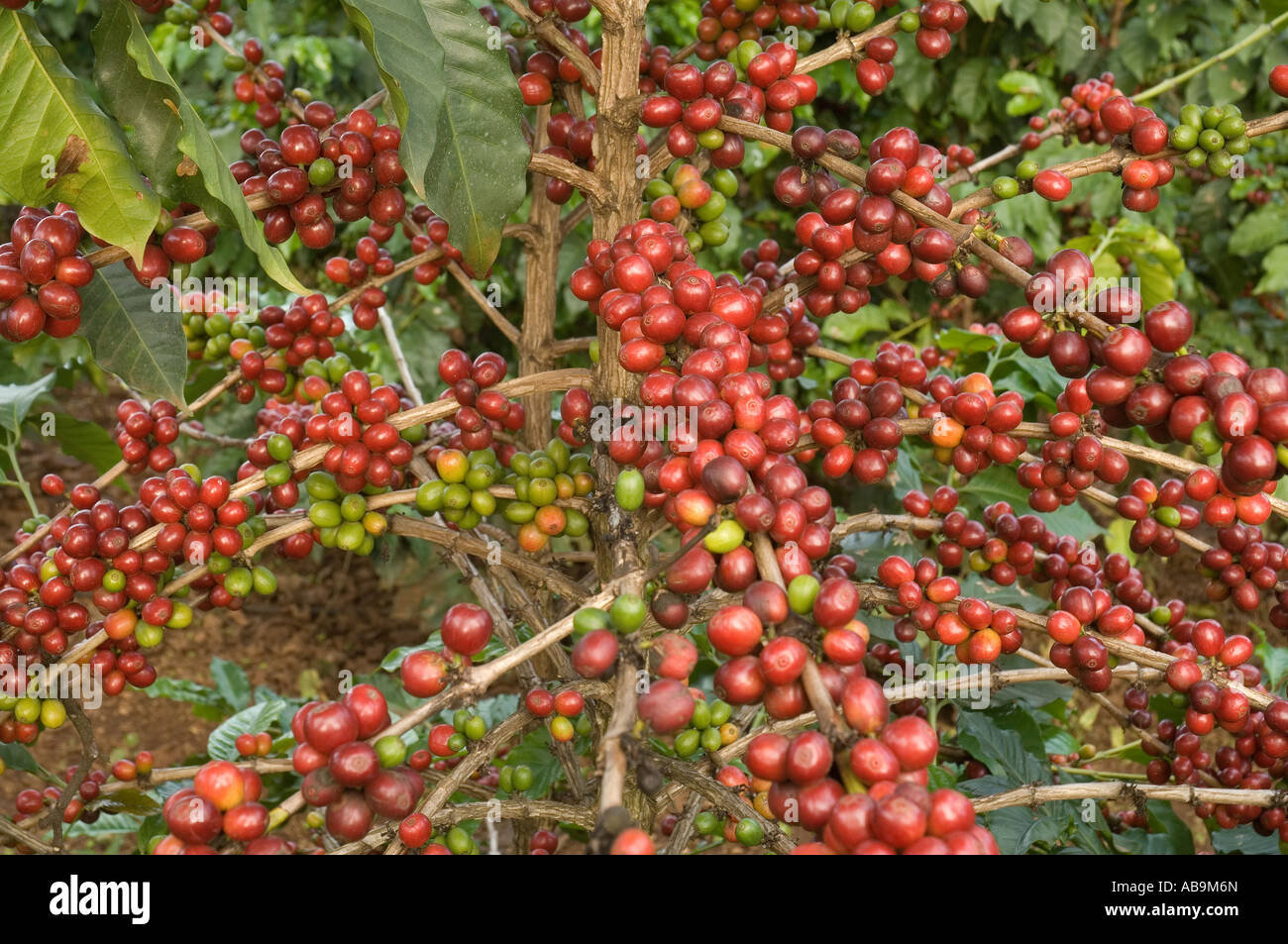 Arabica-kaffee Aus Thailand Ernte Coffee Arabica Tanzania Stockfotos And Coffee Arabica