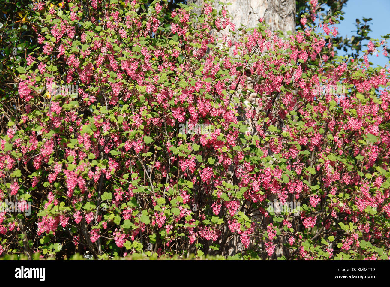 Blutjohannisbeere Hecke Flowering Currant Stockfotos Flowering Currant Bilder Alamy