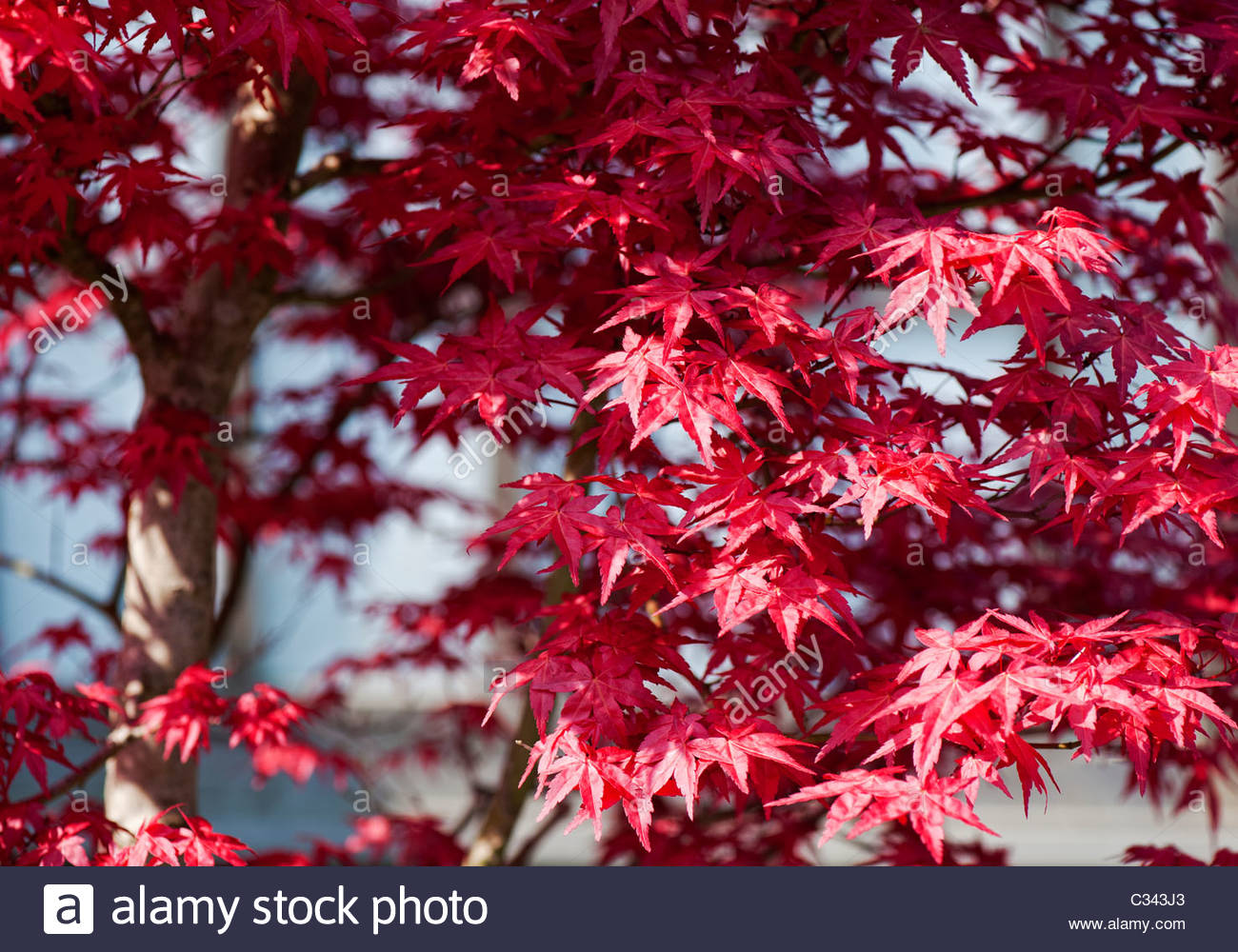 Ahorn Baum Bilder Acer Stockfotos And Acer Bilder Alamy