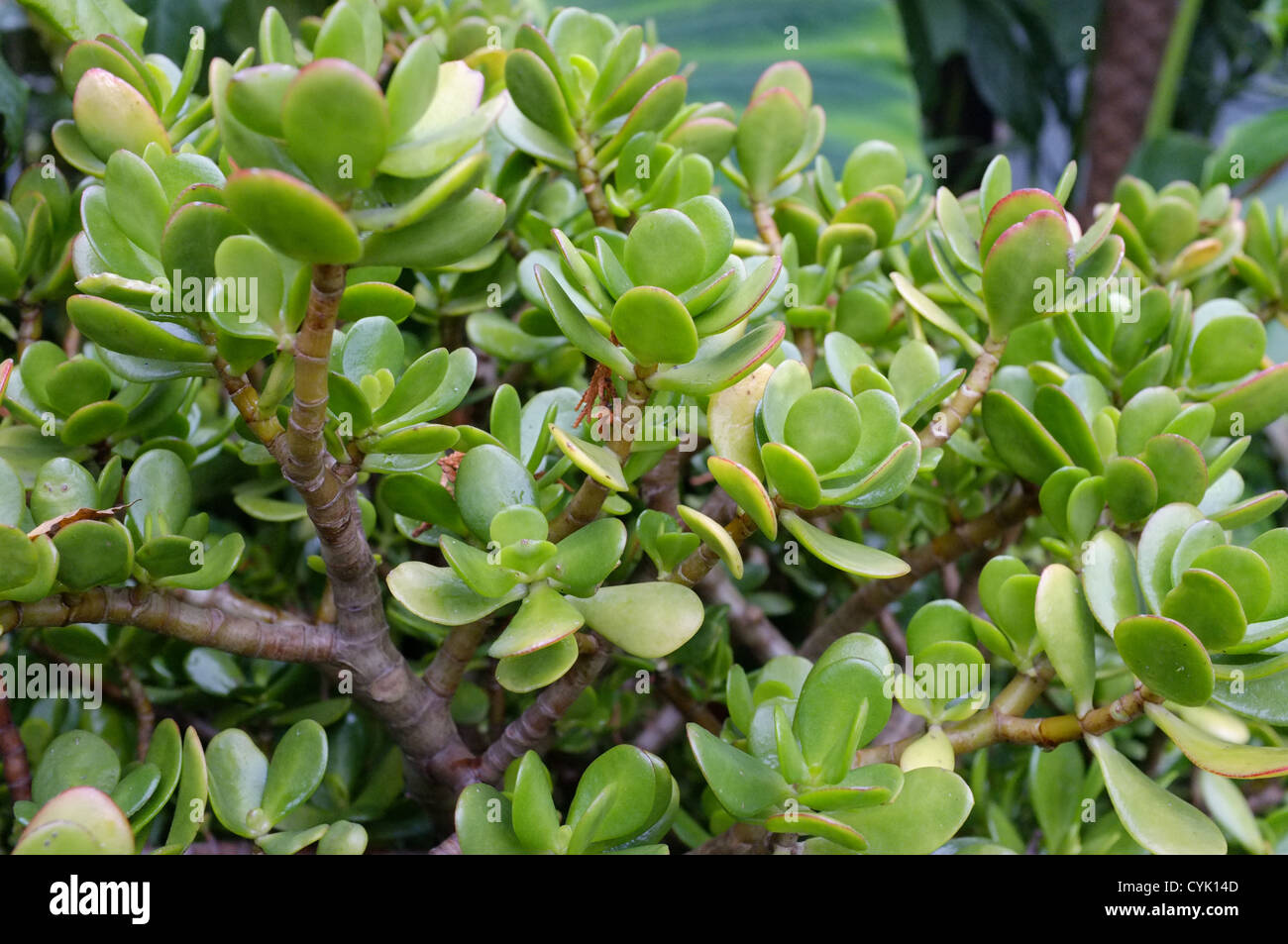 Jade Pflanze Crassula Ovata Stockfotos And Crassula Ovata Bilder Alamy